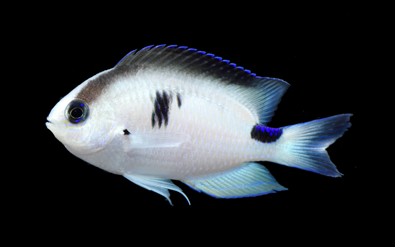 An opalescent fish with a black spot