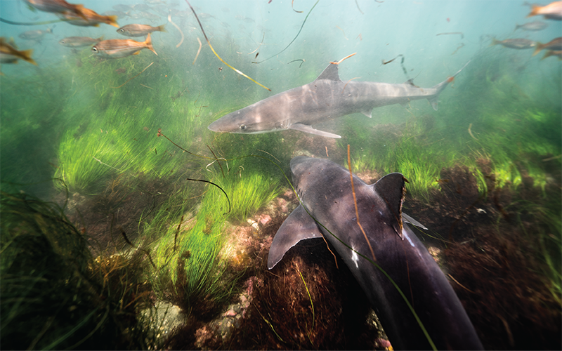 New Research Unlocks Mysteries of Soupfin Shark Migration and Reproduction