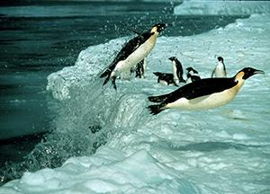 Penguins Flying