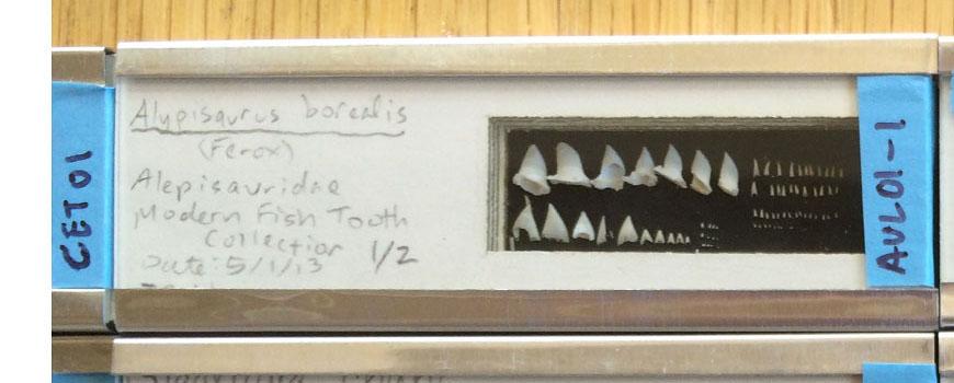 Modern fish teeth
