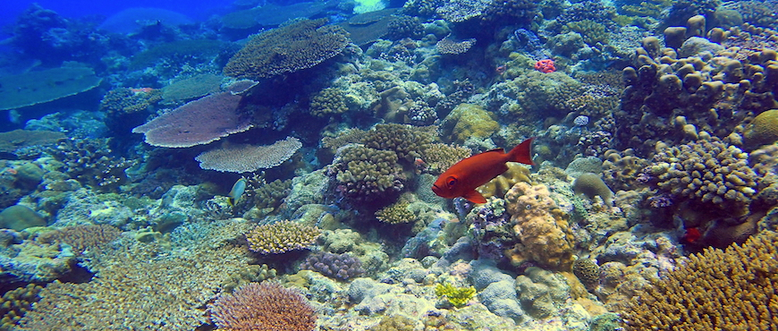 Bigeye on the reef