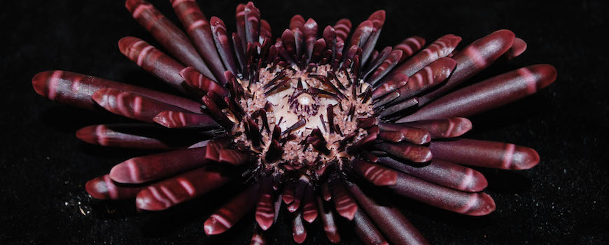 A slate pencil urchin, Heterocentrotus mamillatus, from the Benthic Invertebrate Collection. The urchin has broad reddish-purple spines with blunt tips and faint pink bands. It sits on a black background.