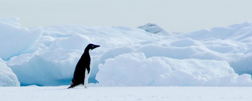 An Adelie penguin, by Lihini Aluwihare