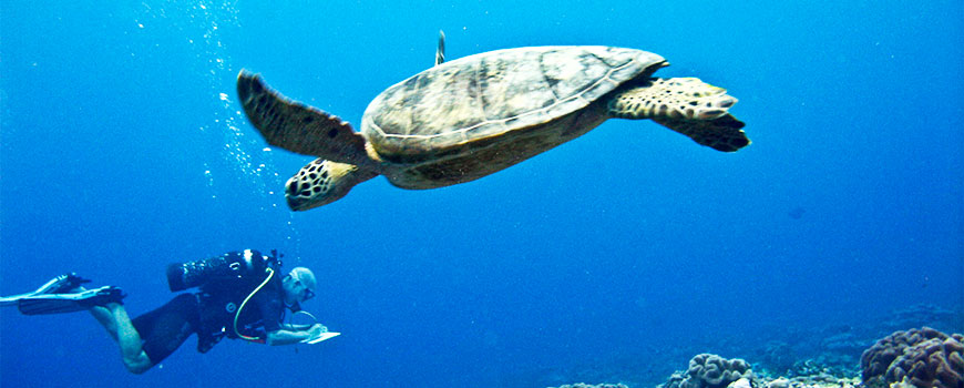 Turtle swimming with diver