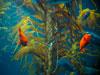 Birch Aquarium Kelp Cam