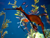 Seahorse on display at Birch Aquarium at Scripps