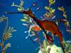 Seahorse on display at Birch Aquarium at Scripps