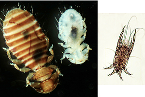 Mature and immature ectoparasitic lice (left) and mites are common on the skin of birds. Photo: A.Turner/R. Hechinger