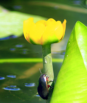 A diving beetle on the flower of a yellow water lily. Photo: alexmak72427/istockphoto
