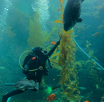 Assistant Dive Safety Officer Aquarist Melissa Torres feeds Birch Aquarium's endangered Giant Black Sea Bass in the Giant Kelp Forest exhibit.