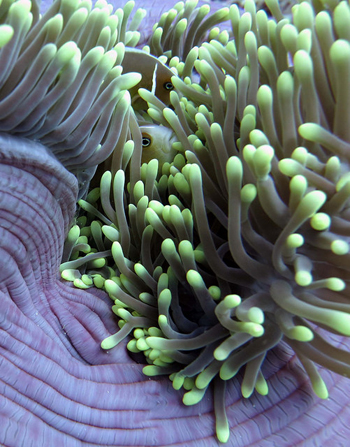 Anemone and clownfish. Photo: Jennifer Smith