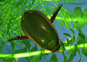 Diving beetle. Photo: Peter Bryant, University of California Irvine
