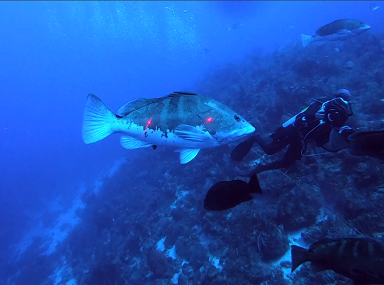 Scientific divers use noninvasive laser length measurements to assess Nassau Grouper recruitment.