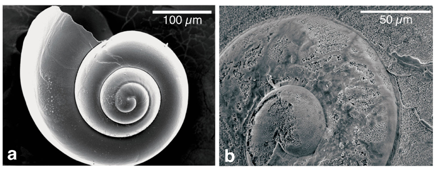 Scanning electronic micrographs illustrating different types of shell dissolution.