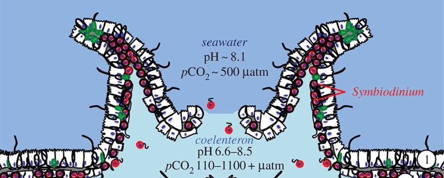 The tissue structure and pH microenvironments of a coral polyp.
