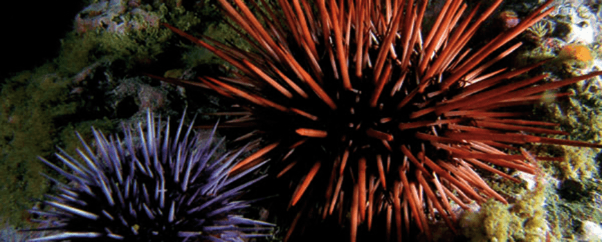 Public domain sea urchin photo by Kevin Lee