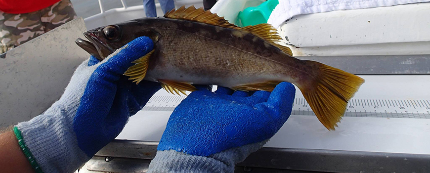 Olive Rockfish (Sebastes serranoides) caught and released as part of the California Collaborative Fisheries Research Program