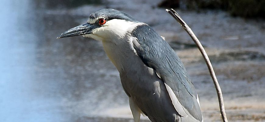Birds like this black-crowned Night Heron were studied to understand their parasite load. Photo: Andrew Turner/Ryan Hechinger