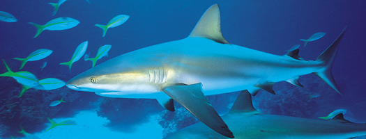 Celebrate the Ocean's Amazing Sharks in July at Birch Aquarium at Scripps