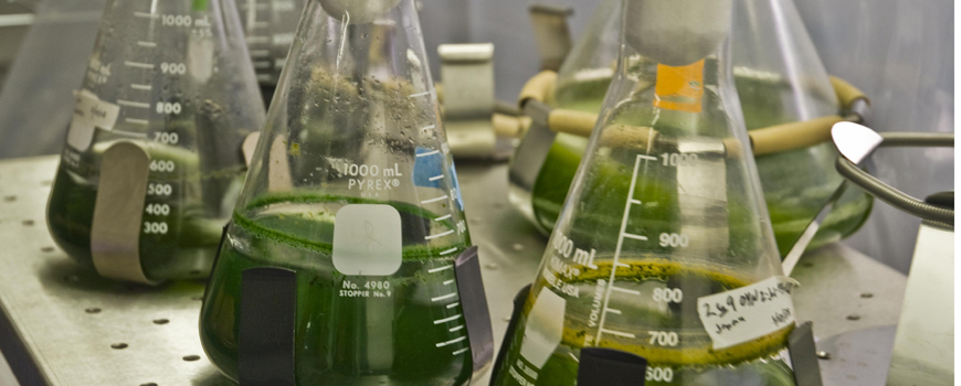 Algal biofuel flasks