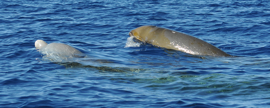 A mother and calf Cuvier's beaked whale are spotted off Guadalupe Island. Photo: Jennifer Trickey
