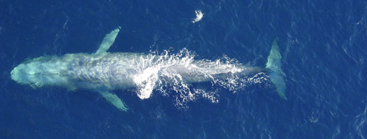 Overhead image of a blue whale