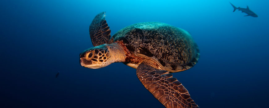 Green sea turtle off Kiribati. Photo: Brian Zgliczynski