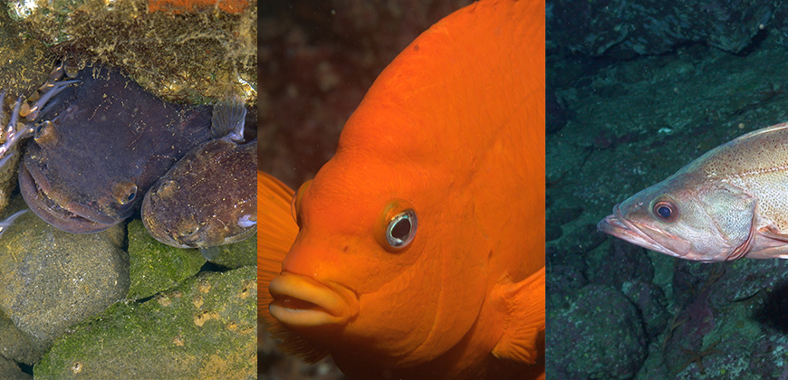 From left, vocal kelp forest fishes plain midshipman, garibaldi, and bocaccio. Photos: Margaret Marchaterre, Ed Bierman, NOAA