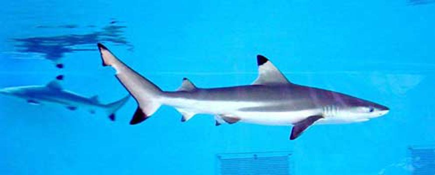 Shark Week Surfaces at Birch Aquarium at Scripps