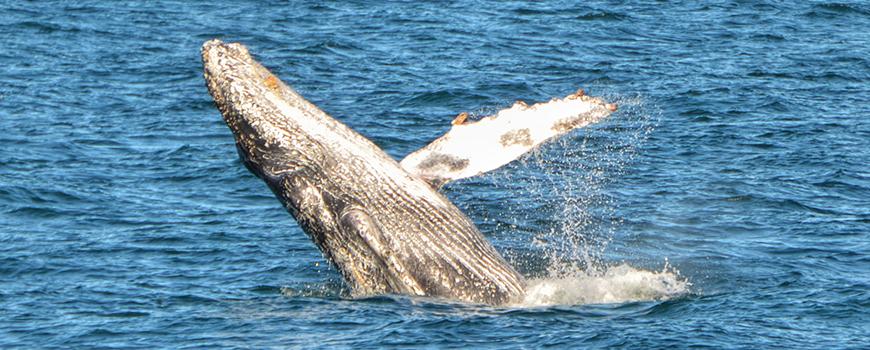 A humpback whale breaches near San Diego Bay, Feb. 7, 2016. Photo: Chris Fitzsimmons/BAS
