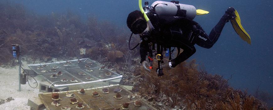 Scripps marine biologist Martin Tresguerres with transplanted corals. Photo: Davey Kline/Scripps Oceanography