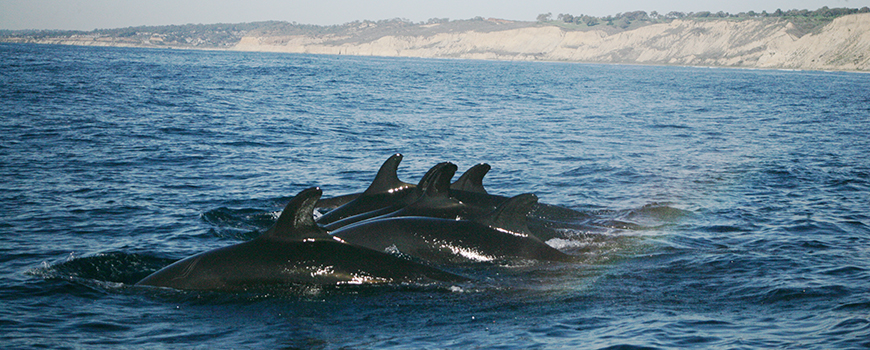 Pod of false killer whales makes rare appearance at Scripps. Photo: Michelle Robbins/NOAA