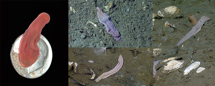 Xenoturbella churro (top center), one of four new flatworm-like species found by scientists including Scripps's Greg Rouse