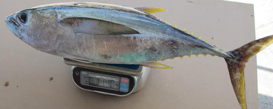 The amount of pollutants in yellowfin tuna tissue varies widely by region, Scripps researchers found. Photo: Lindsay Bonito