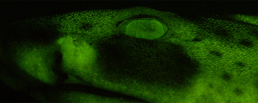 Biofluorescent Swell Shark. Photo: J. Sparks/D. Gruber