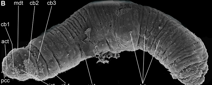 The marine worm Trilobodrilus ellenscrippsae is named for Scripps' founding benefactor