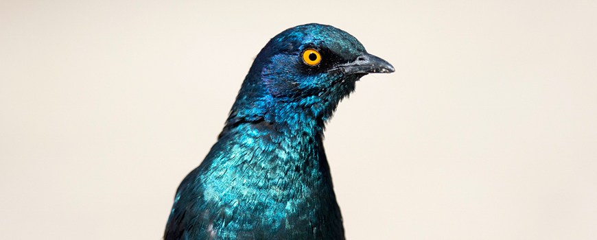 Three-year effort launched to understand melanins, responsible for the iridescent plumage of this glossy starling. Photo: istock