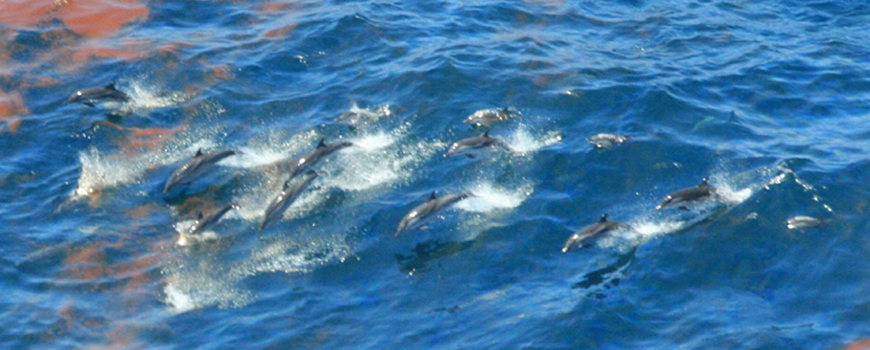 Dolphins swim through oil-tainted waters in Gulf of Mexico in 2010 following Deepwater Horizon spill. Photo: NOAA