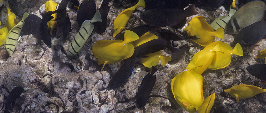 Parrotfish and surgeonfish graze on turf algae at Hawaii's Kahekili Herbivore Fisheries Management Area