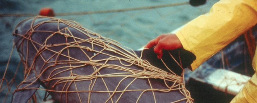 Vaquita trapped in fishing net. Photo: NOAA Fisheries