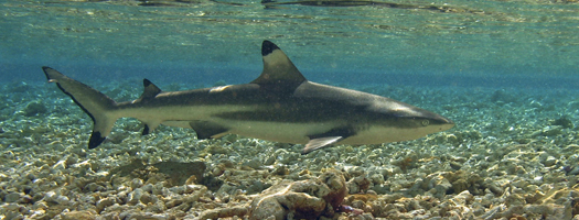 Shark Week Surfaces at Birch Aquarium at Scripps
