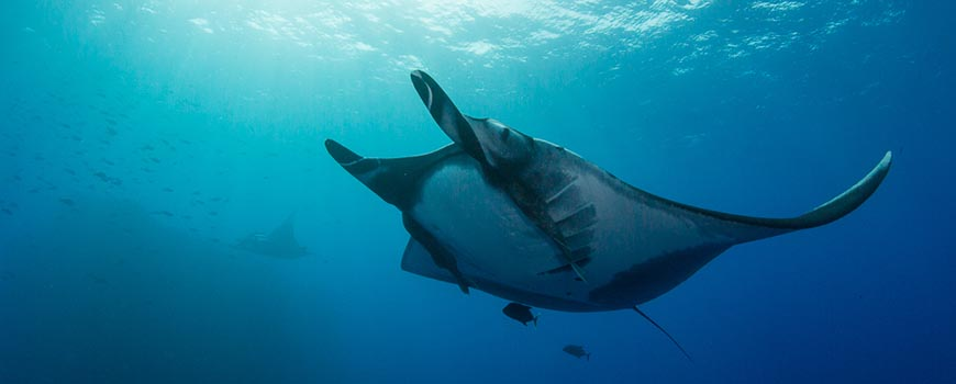 A giant manta ray off Revillagigedo Archipelago in Baja California, Mexico. Credit: Josh Stewart