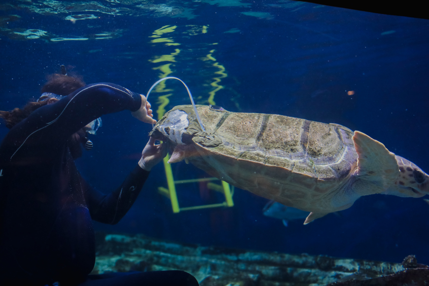 Birch Aquarium's Loggerhead Sea Turtle is fitted with a 3-D Printed brace for her shell.