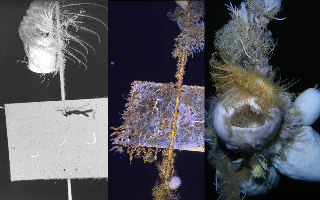 Images of marine invertebrate growth on plate installed off McMurdo Sound seafloor taken in 1974, 1989, and 2010