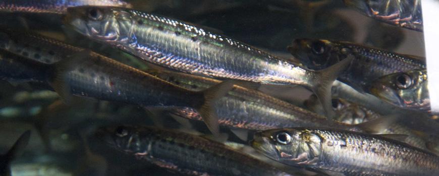 School of sardine photographed at Birch Aquarium at Scripps.