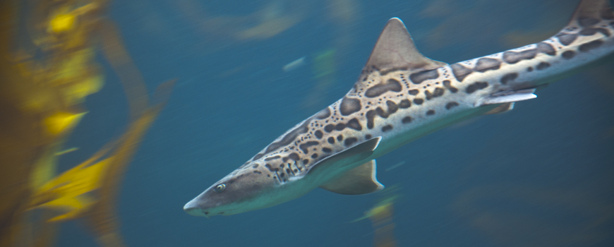 SPOTTED: Leopard Sharks at Birch Aquarium at Scripps
