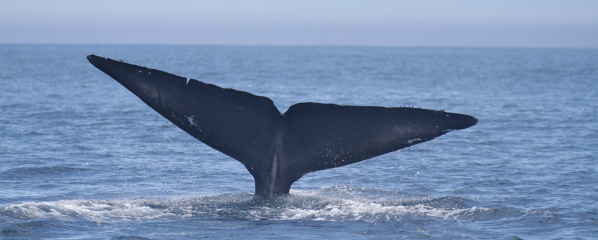 Blue whale fluke. PC: Angela Szesciorka