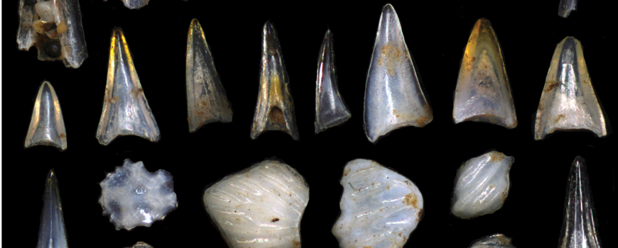 Fish teeth and shark scales from the South Pacific Ocean following the Cretaceous-Paleogene mass extinction. Credit E. Silbert