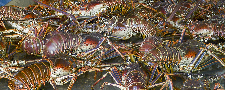 Lobsters collected on a counting table in Barbuda.