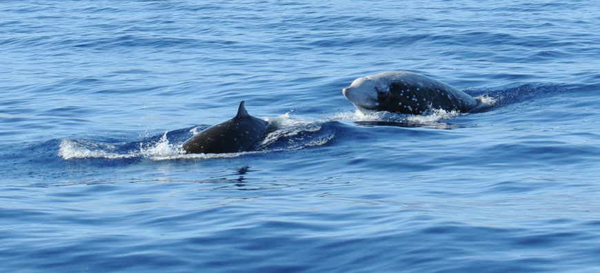 A pair of Cuvier's beaked whales. Photo by Jenny Trickey, taken under SEMARNAT permit SGPA/DGVS/000451/18
